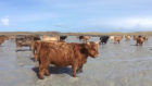Over 100 Highland cows are herded to uninhabited Isle of Vallay in the Outer Hebrides that is only able to be reached at low tide.
