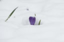A Crocus in the snow near Cragievar, Aberdeenshire.