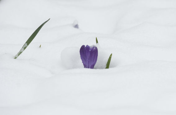 A Crocus in the snow near Cragievar, Aberdeenshire.