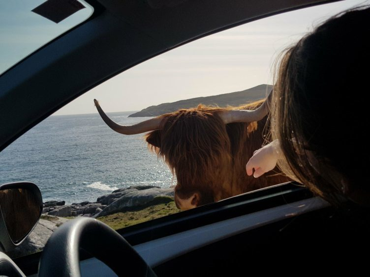 This Highland cow refused to move off the road in Isle of Harris.