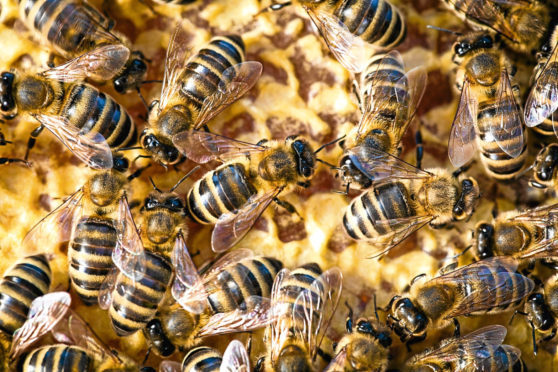 European Foulbrood affects honey bees.