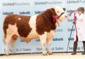 Islavale Hijack was Simmental breed champion.