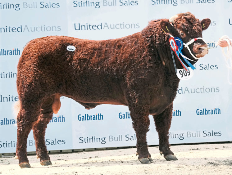 The reserve champion Salers bull - Whitebog Laurie from Alister Mackenzie, Whitebog, Fortrose. He sold for 4,500gn.