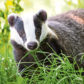 Animal conservation Badger out for an early evening stroll