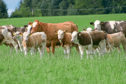QMS cows