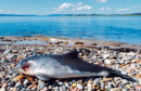 The porpoise had teeth marks on its head and suffered several broken ribs