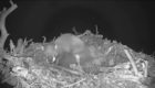 Heartbreaking scenes emerged from Lochaber last night after two ospreys lost three of their nesting eggs to a pine marten