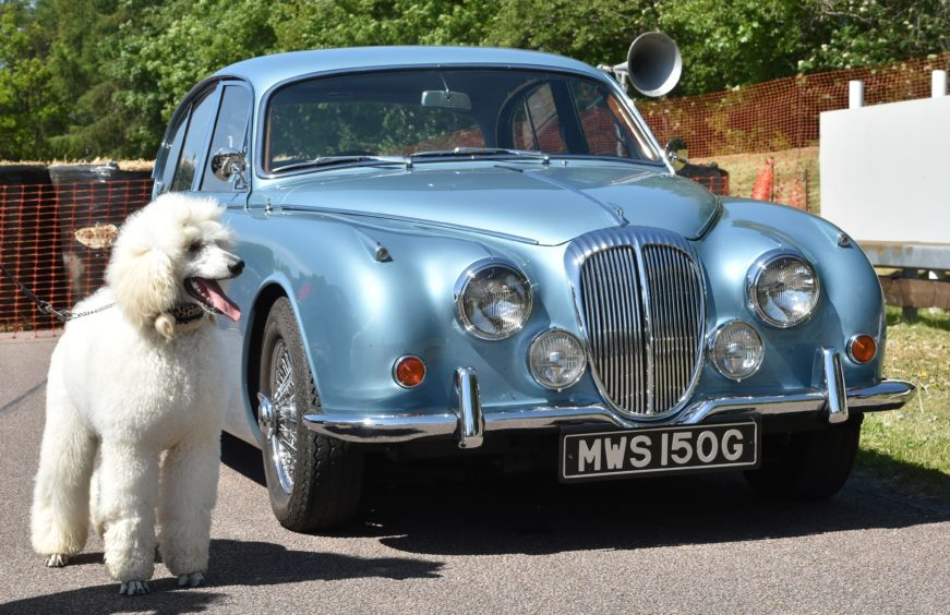 Piper the poodle with 1968 Daimler V8 250