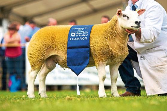 The Shetland sheep champion, Ivy Dene Patroneus, from Rena Douglas, Craigrothie, Cupar