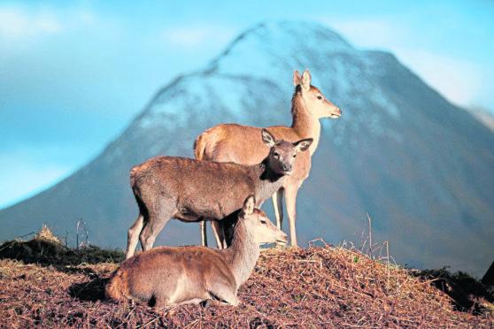 Red deer graze in Glen Etive in the Scottish Highlands.