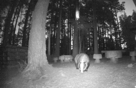 A badger captured indulging in peanuts at RSPB Loch Garten