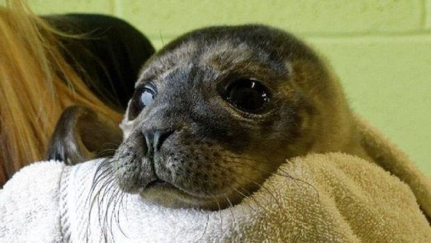 Alex the seal pup. Picture: Scottish SPCA