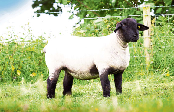 The Solwaybank gimmer which sold for 6,500gn to Stewart Craft, Leslie, Fife.