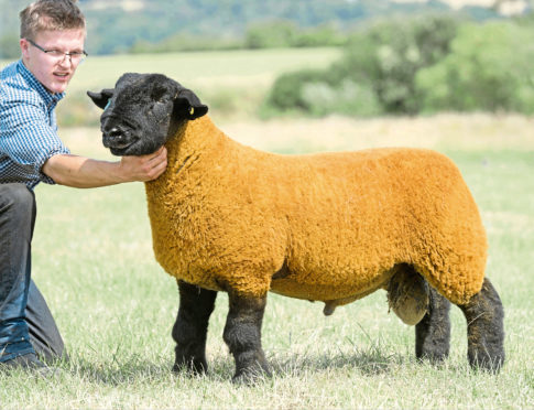 The Stuart family achieved their top price of 30,000gn with this ram lamb from their Birness flock.