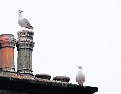 Seagulls retreat to the rooftops on Broad Street, Peterhead with Hawks patrolling below on street level.