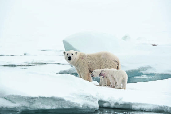Photo of a mother with her cubs at Torrelnesset. Picture: PA Photo/Sarah Marshall.