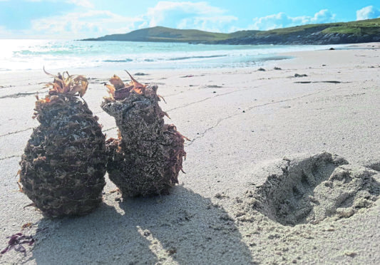 Two pineapples found washed up on Meal beach on Shetland.  picture by Zoe Henry.