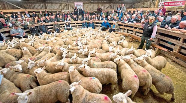 Joyce Campbell sells lambs at Lairg.