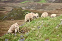 Farmers have been advised to take steps to control ticks in sheep.