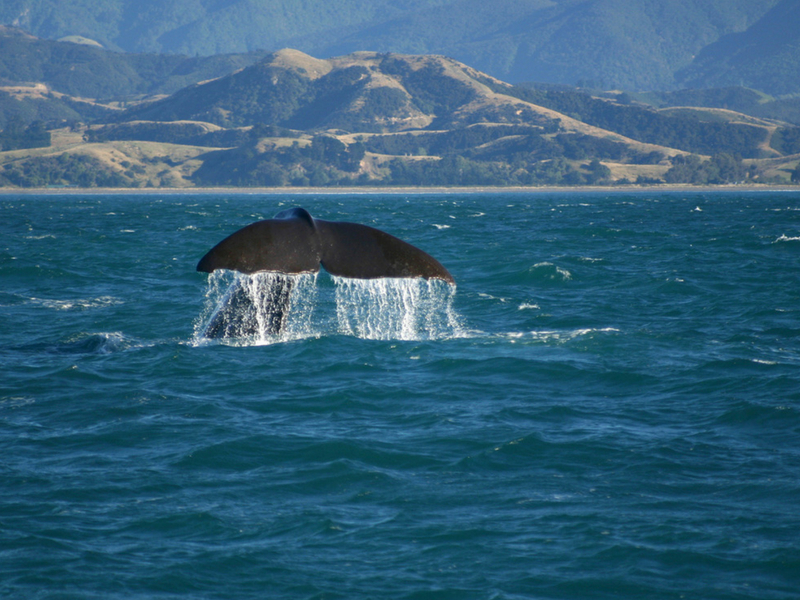 New Zealand - Kaikoura Whale Watching