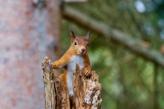 Fears have been raised the new road could reduce habitat for animals such as the red squirrel