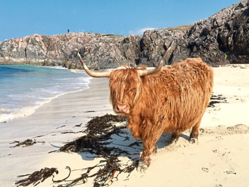 Seaweed has been found to abate methane emissions from cattle.