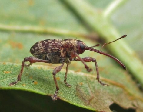 The Curculio betulae weevil discovered by Nigel Richards from Tain