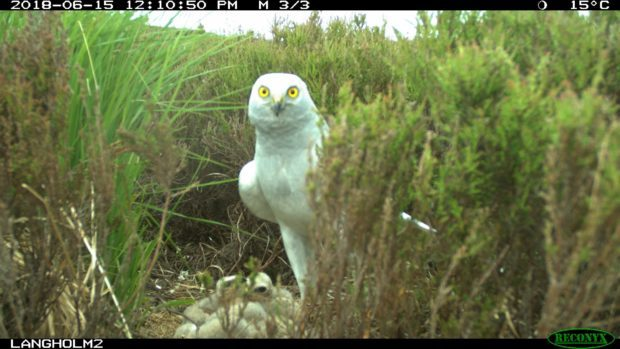 Male hen harriers guarding nests are a very rare sight.
