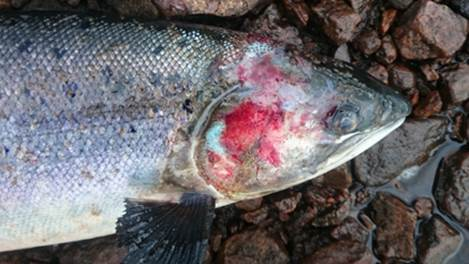 A dead wild adult Blackwater salmon, fatally wounded after its skin has been stripped away by hundreds of parasitic sea lice