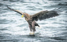 A white-tailed eagle swoops down on a fish off the Isle of Mull.