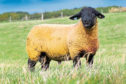 Suffolk ram lamb Birness Cracker sold for 10,000gn at the Stockton dispersal sale.
