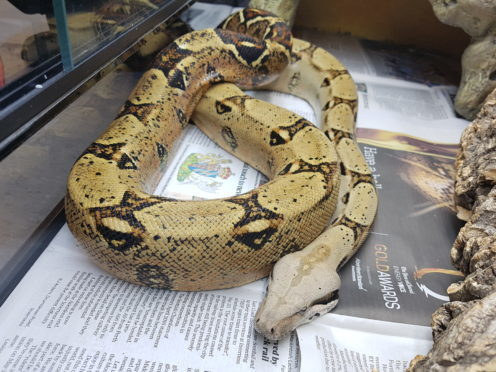 Esmerelda the pet boa constrictor.