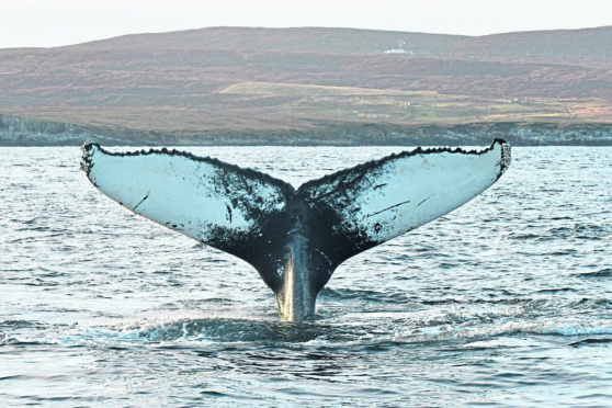 Humpback whales change their song every few years