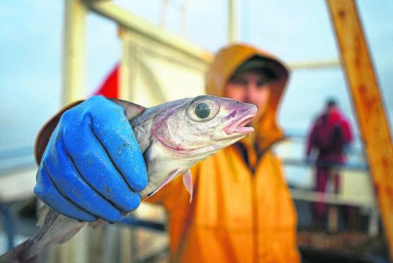 Scottish trawlermen on board the trawler Carina haul in their catch of Haddock.