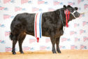 Last year's prime cattle champion - a Limousin cross heifer from Harry Brown, Auchmaliddie Mains, Maud, which sold for £4,600.