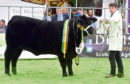 The Black Beauty Bonanza show at Thainstone Centre, Inverurie. In the picture is the Yearling Heifer, Donald Rankin.  Picture by Jim Irvine  23-11-18