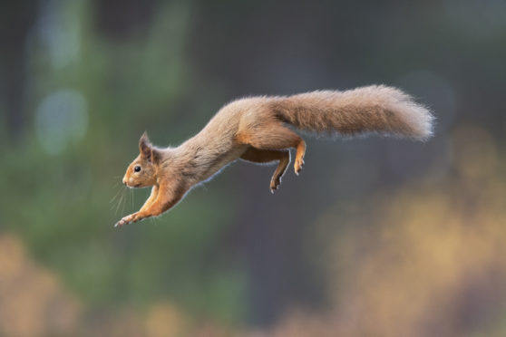 Red squirrel populations are declining. Pictured: Peter Cairns.