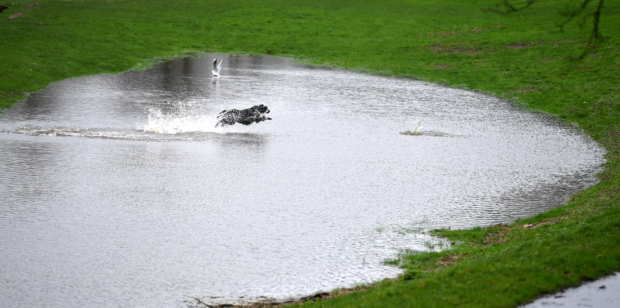 This dog, by the river Dee, was not deterred by the wet conditions.  Pic by Chris Sumner