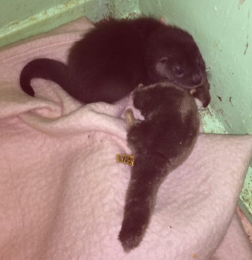 The otter cub was found on Sunday afternoon by Paul and Grace Yoxon of the International Otter Survival Fund (IOSF)
