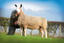 The top priced ewe at the Rossiebank flock dispersal selling for 4,800gn to Mike Anderson Farming, Ballindalloch.