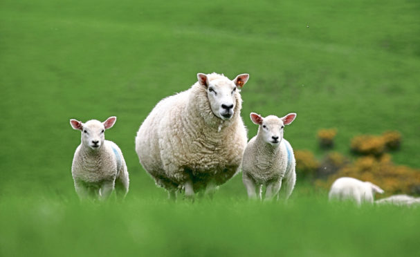Sheep leaders have warned of a no-deal Brexit.