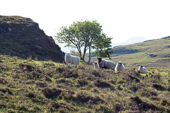 There has been a spate of attacks on sheep by dogs.