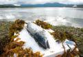 Scottish salmon submitted image: Salmon on ice.