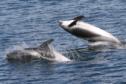 White beaked dolphin