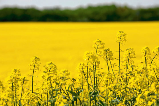 Oilseed rape crop for RAGT Seeds story.