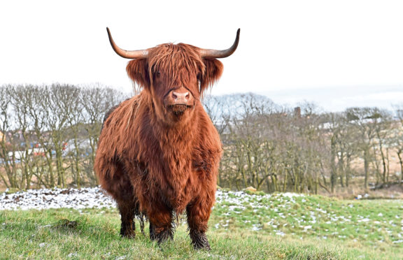 Farming Journal - Peterhead - Farmer Craig Finnie with his herd of Highland Cattle. PS there were only the cattle in the field and no rosettes etc. Picture by COLIN RENNIE  January 29, 2019.