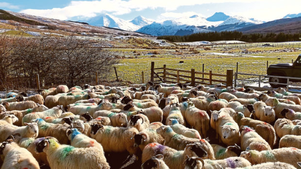 Sheep at the SRUC hill and mountain research centre