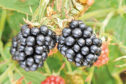 The blackberry breeding programme has been hailed a success.