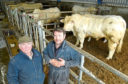 Johnny and Raymond Irvine with some of their Charolais bulls which are going forward at the forthcoming Stirling Bull Sales.