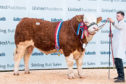Islavale Islander was overall Simmental champion.